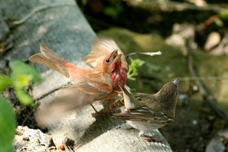 птицы чечевицы